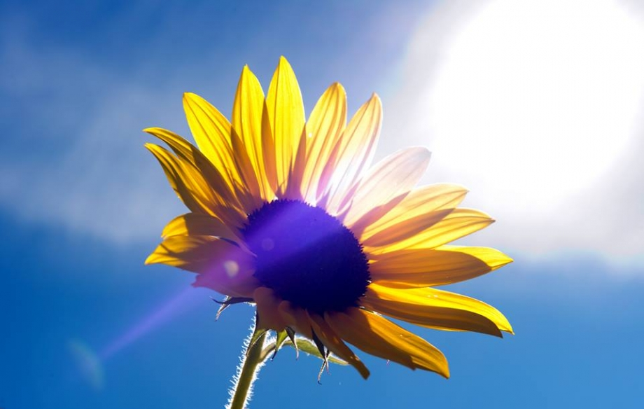 Sunflower » Labelle Photo